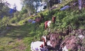 An der Joggingstrecke: die Ziegen von Menzenschwand - Bilder: Anselm Bußhoff