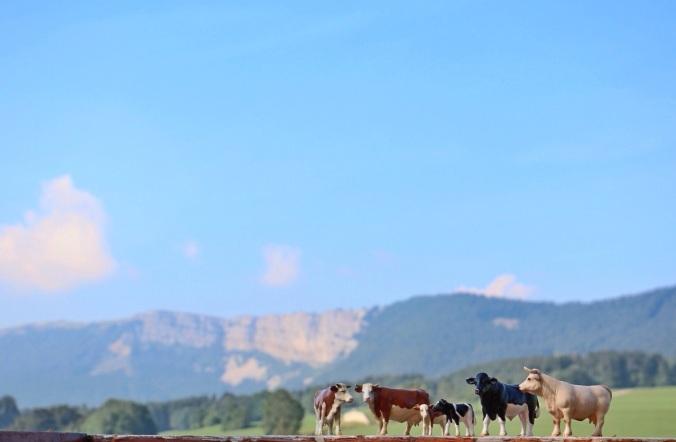 Unsere Kuhherde vor dem Mont d' Or - Bilder: Anselm Bußhoff